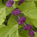 beauty berry art
