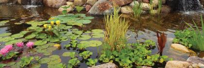 Swans pond