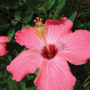 KCG Aug16 Hibiscus trop cover for web