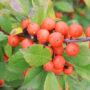 little_goblin_orange_winterberry_holly