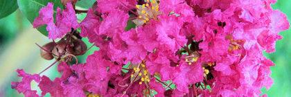 crape-myrtle-bloom
