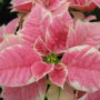 poinsettia-marble-pink1