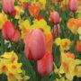 tulips_and_daffodils