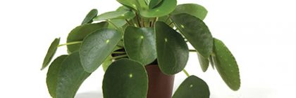Pilea_peperomioides for web