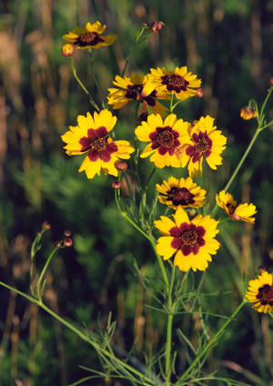 plains_coreopsis_bunch_medium