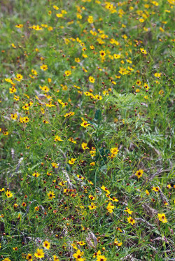 plains_coreopsis_field_medium