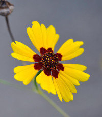plains_coreopsis_single_medium