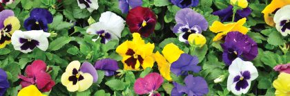 Ile de France, pansy in the flower show of les mureaux.september 19, 2015