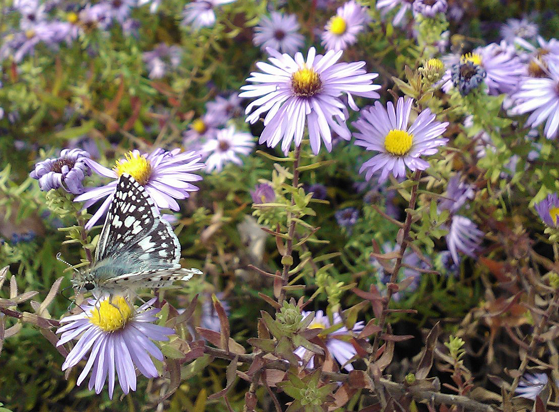 Aromatic aster with skipper sw