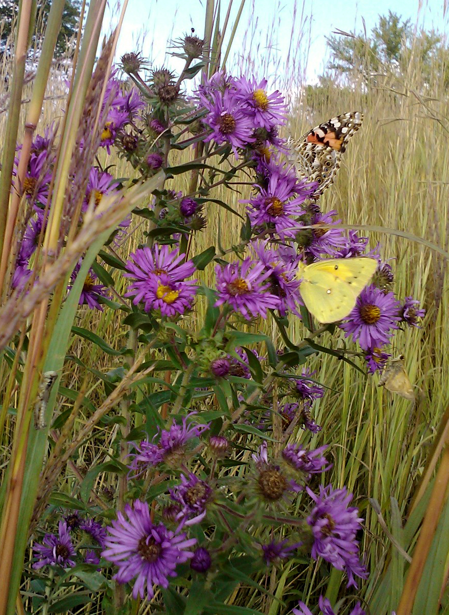 New England aster sw