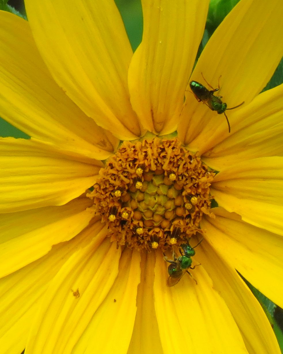sweat bees woodland sunflower