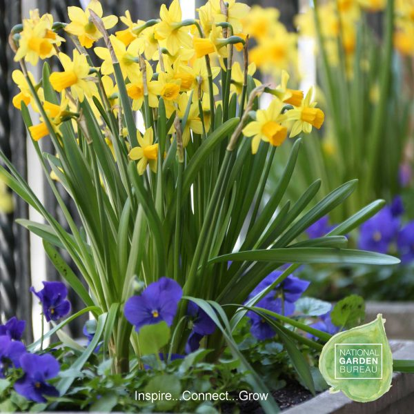 KCG Oct17 10 Daffodil-Tete-a-Tete-NGB1-600x600