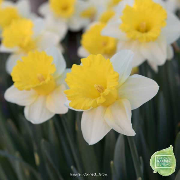 KCG Oct17 3 Daffodil-Goblet-NGB1-600x600