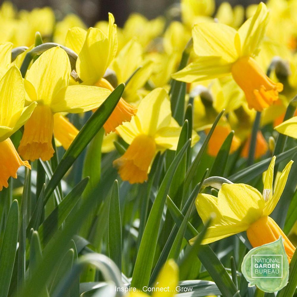 KCG Oct17 9 Daffodil-Jetfire-NGB